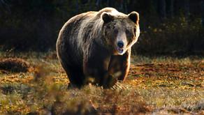 A BIG Totem Bear and Animal Communication!
