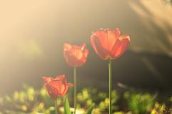 Tulpen logo.jpg