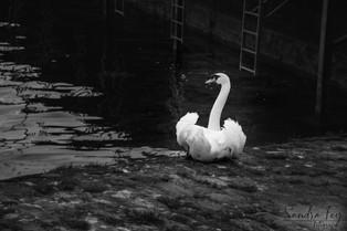 Black Swan 2 logo.jpg