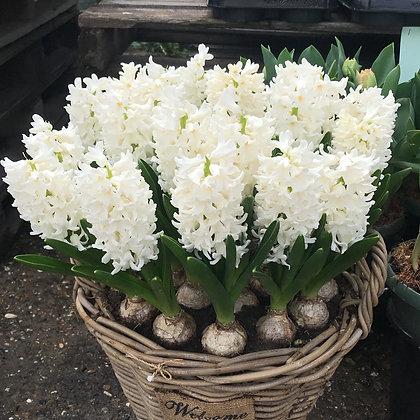 Fairy White - hyacintenbollen