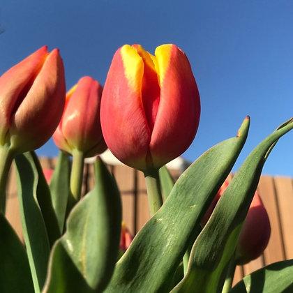 Hennie van der Most - tulpenbollen