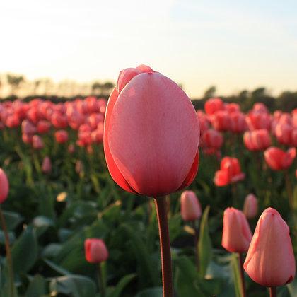 Pink Impression - tulpenbollen