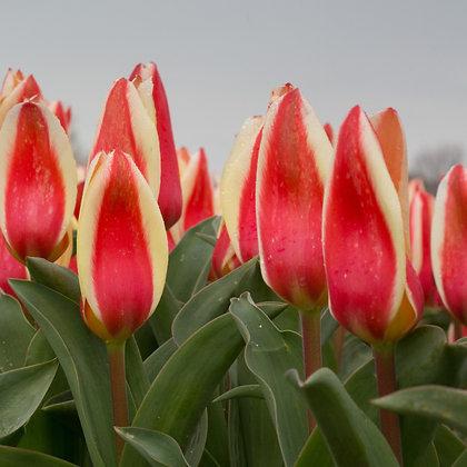 Piet - tulpenbollen