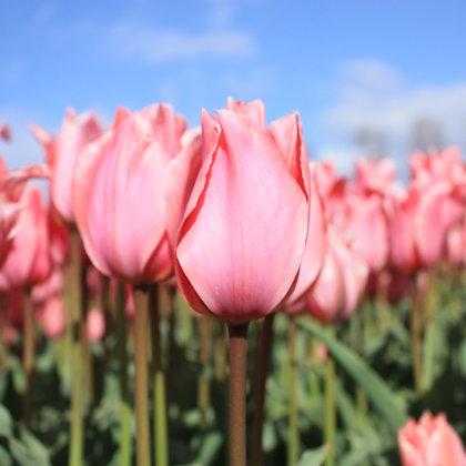 Albert Heijn - tulpenbollen