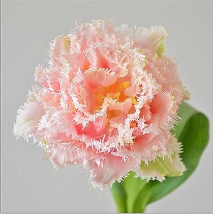 Queensland - tulpenbollen