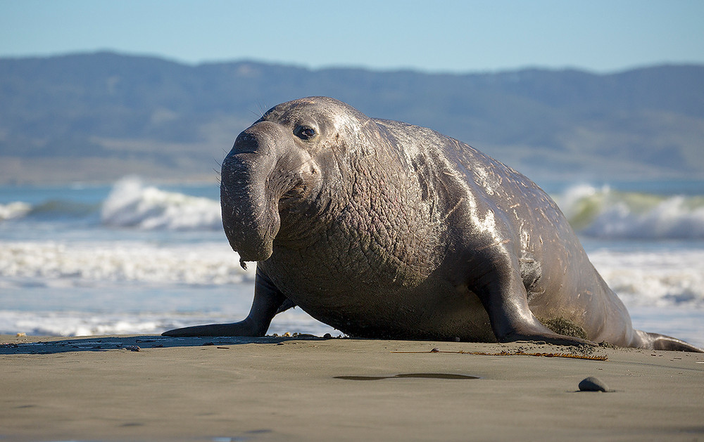 An elephant seal looks sideways at us as it lumbers out of the ocean to soak in the sun. Photographed by Chase Dekker.
