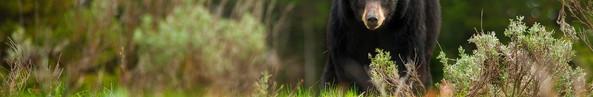 Spring Black Bear