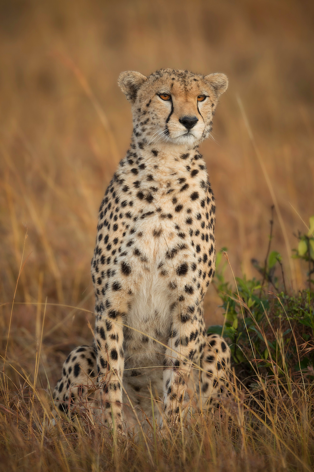 A female cheetah sits waiting patiently for her next meal during Chase Dekker's Kenya photography workshop.