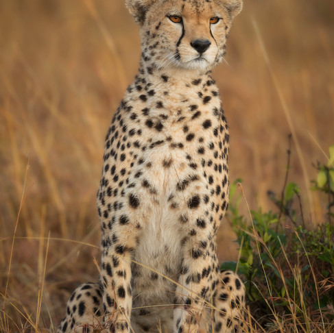 Photo of the Week: The Cheetah