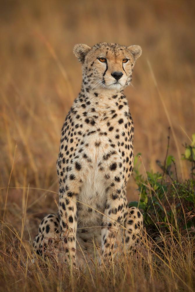 Photo of the Week: The Cheetah