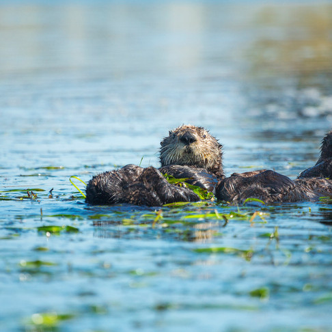 Photo of the Week: The Southern Sea Otter