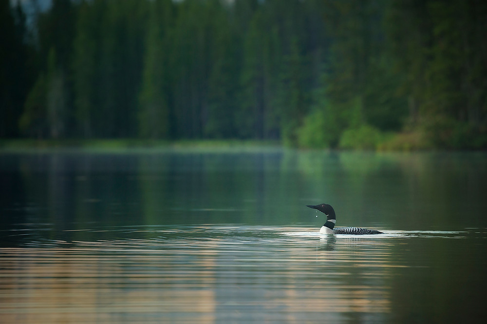 Water drips from a common loon as it swims through a glassy lake in Banff National Park. Photographed by Chase Dekker,