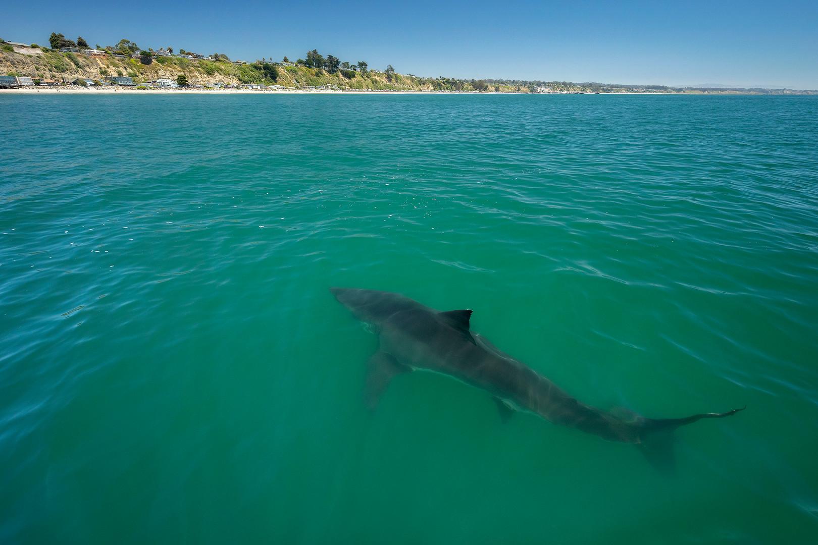 8C0A3724_Great_White_Shark_insta.jpg