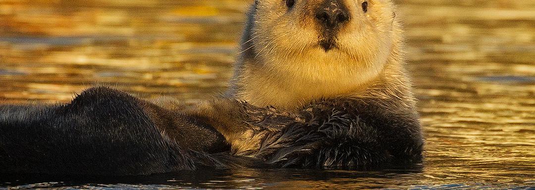 Golden Otter