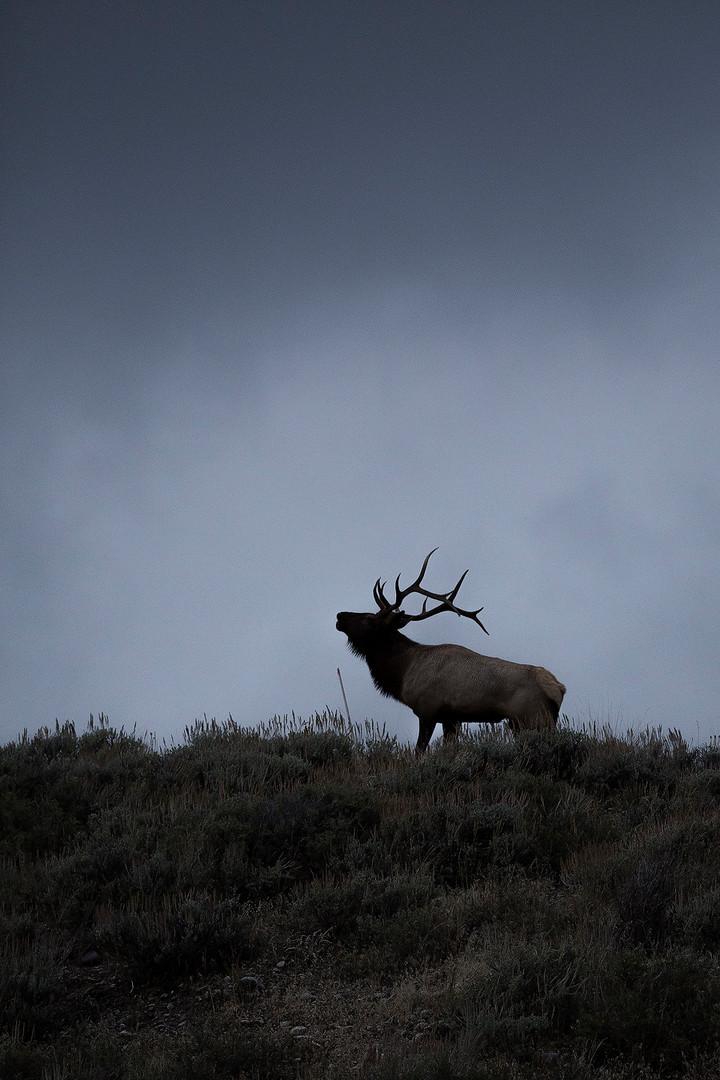 Elk_Silhouette_Bugling_insta.jpg