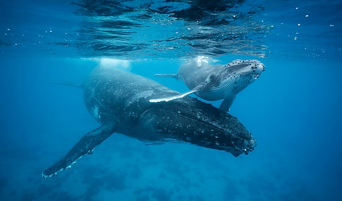 A mother humpback whale and her calf are photographed underwater on Chase Dekker's private tour.