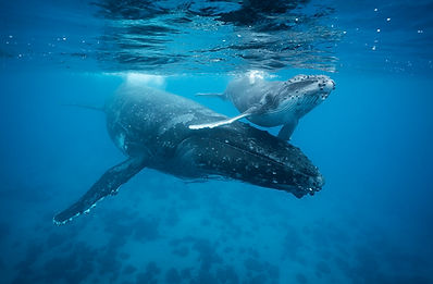 A humpback mother and calf whale are photographed on Chase Dekker's Tonga workshop.