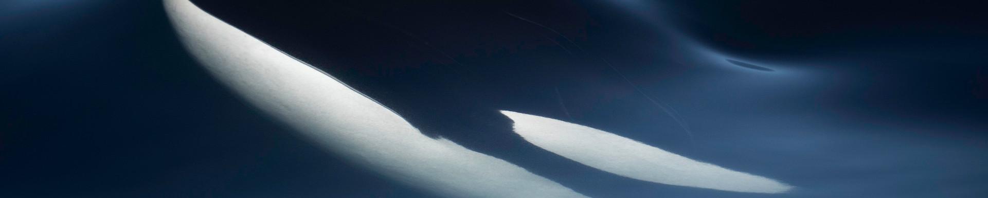 Orca Rising