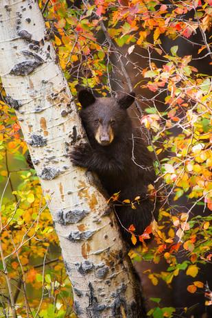 Black_Bear_Cub_Aspen_Fall_insta.jpg