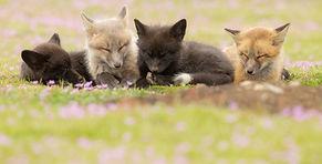 Four_Fox_Kits_Sleeping_insta_edited.jpg