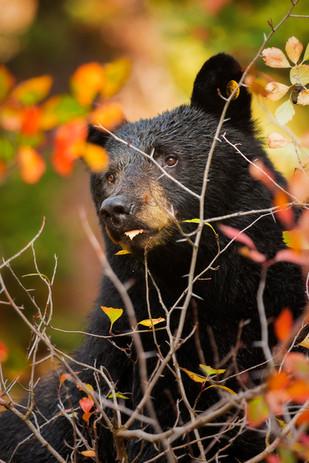 Black_Bear_Sow_Autumn.jpg