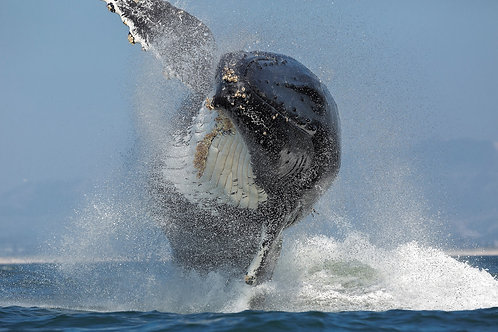 Flying Humpback - Matted Print