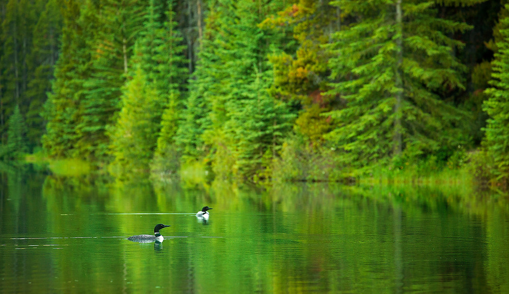 Two common loons wail eerily to each other in the early hours of morning in Banff National Park. Photographed by Chase Dekker.
