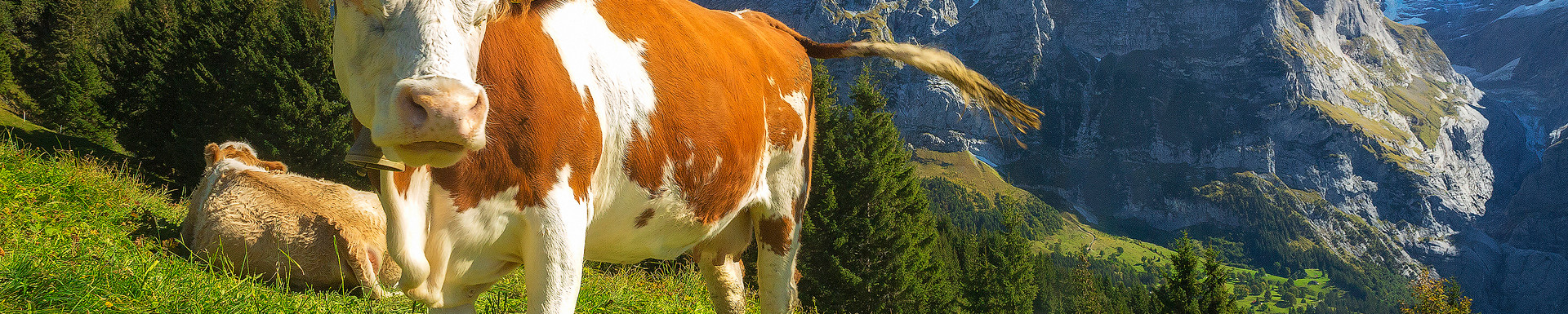 Wetterhorn Grazer