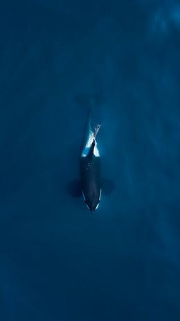 Bull_Killer_Whale_Above_Reedit_WIX.jpg
