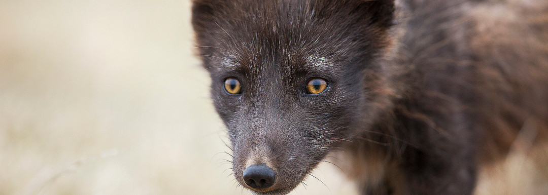 Inquisitive Arctic Fox
