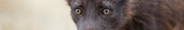 Inquisitive Arctic Fox
