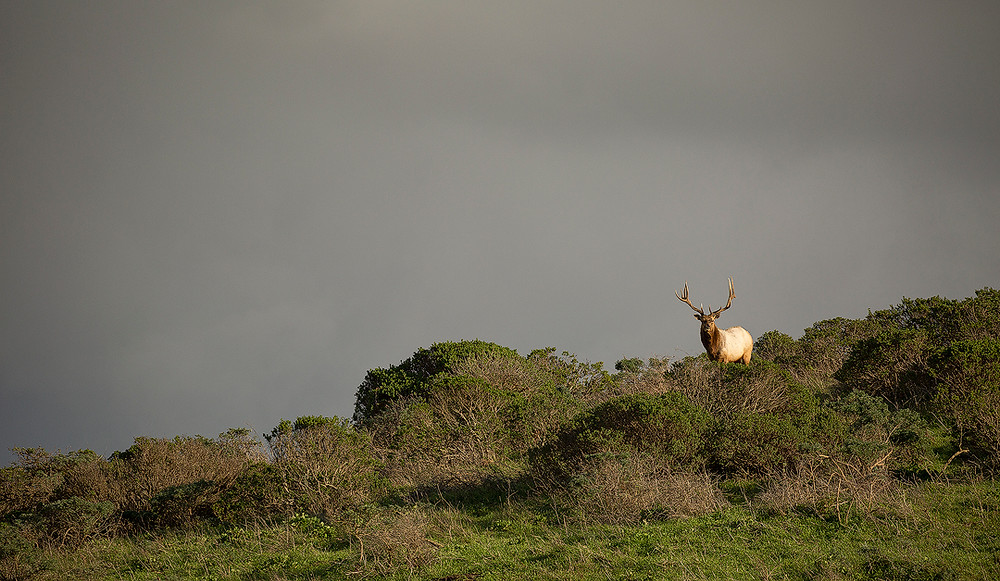 A bull Tule elk stands along a ridge in Point Reyes National Park with formidable clouds forming in the distance. Photographed by Chase Dekker.