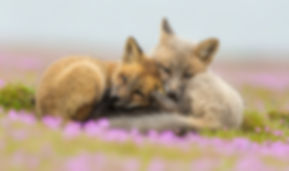 Two fox kits are photographed in a flowery meadow on Chase Dekker's private tour.
