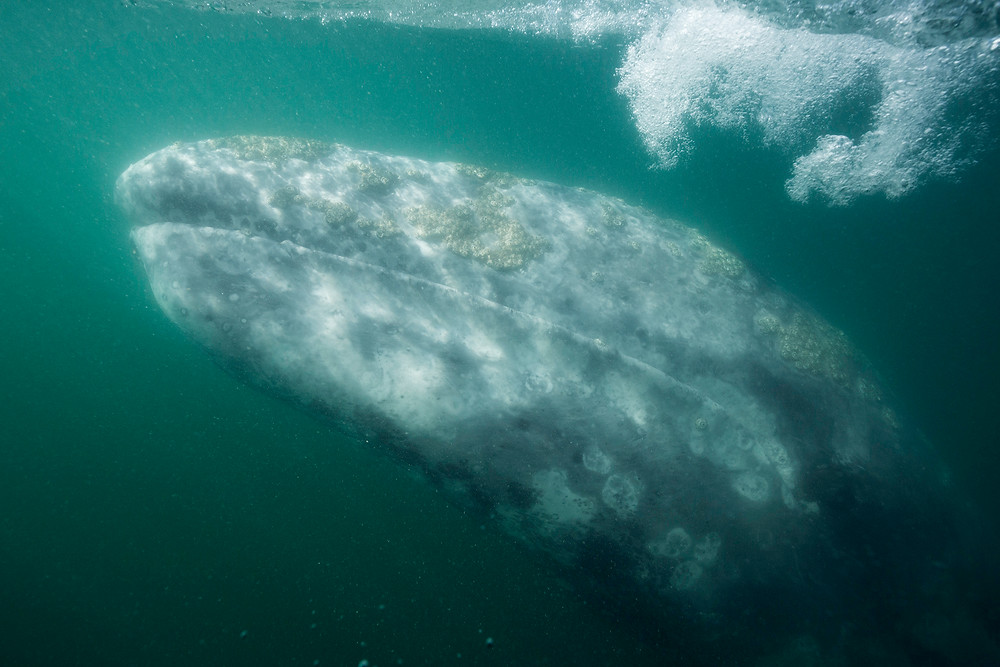 A gray whale is photographed underwater in Mexico by Chase Dekker.