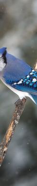 Blue Flurry