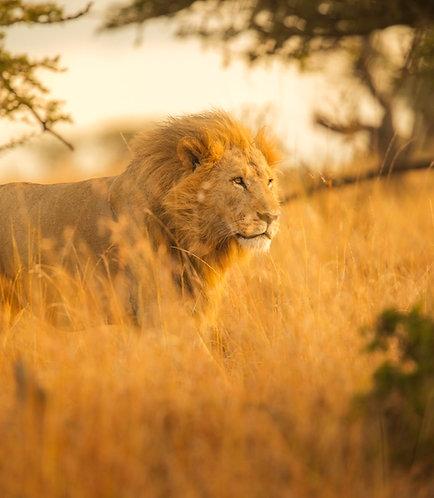Masai Knight
