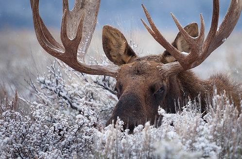 The Hidden Moose