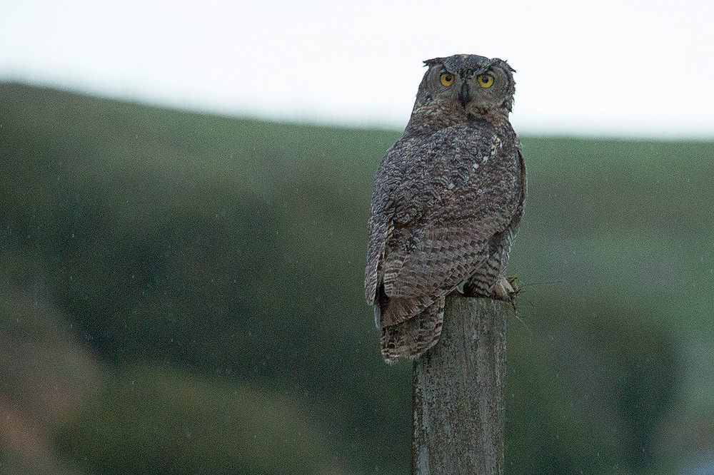 A great horned owl sits perched on a wooden post during a rain storm in Point Reyes National Seashore. Photographed by Chase Dekker.