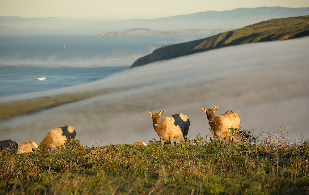 A small herd of Tule elk munch on some grass overlooking the ocean in Point Reyes National Seashore. Photographed by Chase Dekker.