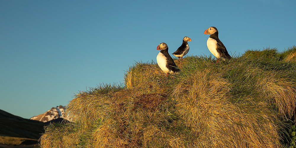 Three puffins stand outside their burrows basking in the evening sun during Chase Dekker's Iceland photography workshop.