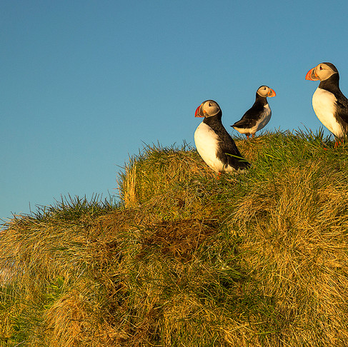 Icelandic Puffin Viewing Guide
