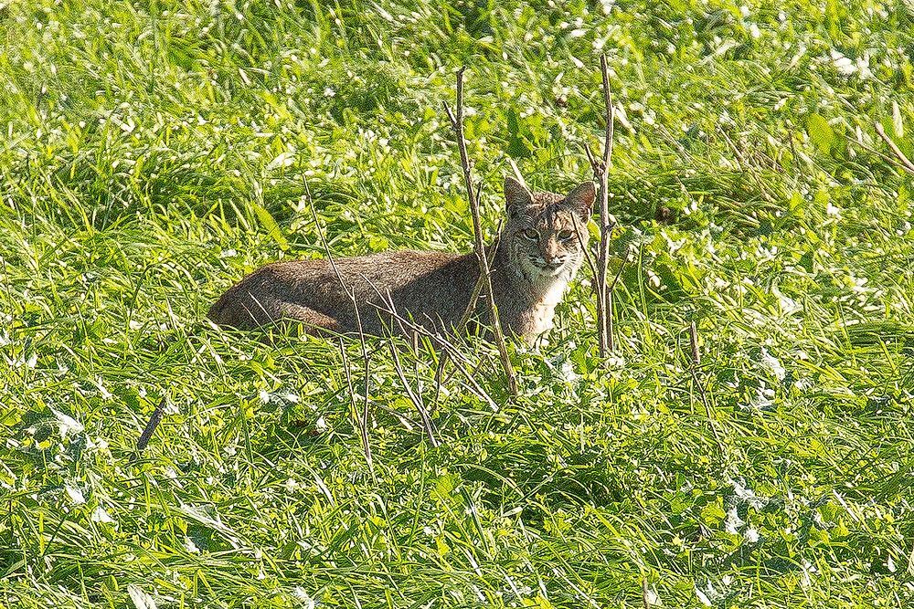 A bobcat stands in deep grass, watching us from afar. Photographed by Chase Dekker.