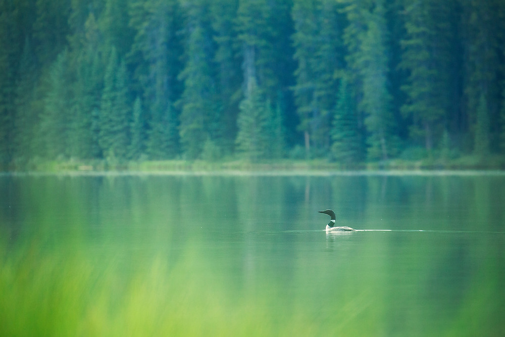 A common loon swims on a glassy lake surrounded by green in Banff National Park. Photographed by Chase Dekker.