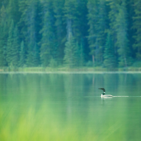 Tales from the Field: Wail of the Loon