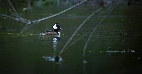 Forest Duck