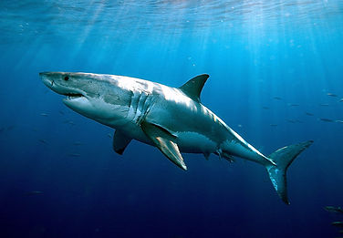 A great white shark is photographed on Chase Dekker's Great White Shark Tour in Monterey Bay.