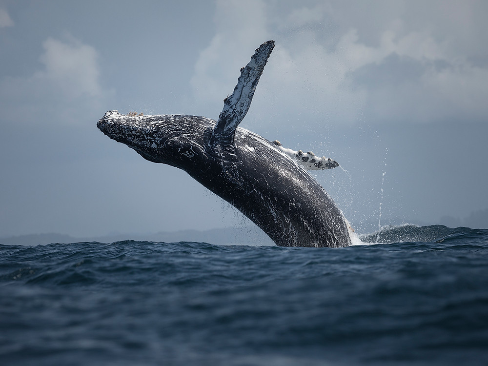 A humpback whale breaches in Monterey Bay, photographed by Chase Dekker.