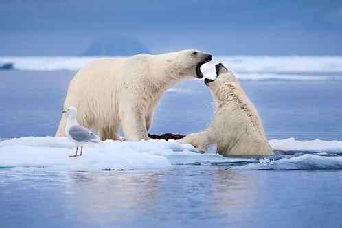 Arctic Duel - 24x36 Poster