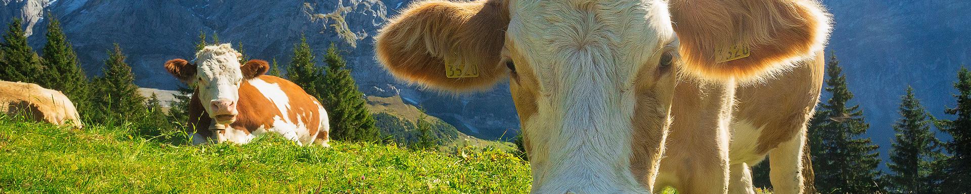Simmental Cow