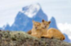 Pumas_Patagonia.jpg